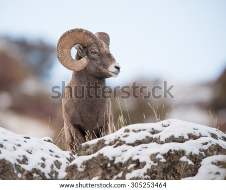 A full curl male big horn sheep looking to the right from above photographer; blue sky background - stock photo