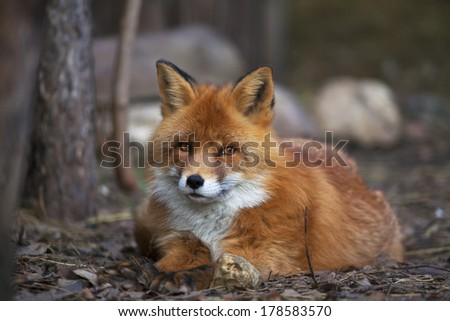A full length portrait of a posing red fox male, lying on the ground. The beautiful forest wild beast. Smart look of a dodgy vulpine. Eye to eye with one of the most grace wood inhabitant.