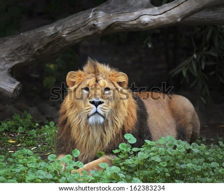 A full length portrait of a young Asian lion, lying on the grass. King of beasts. Wild beauty of the biggest cat. The most dangerous and mighty predator of the world. Eye to eye contact. - stock photo
