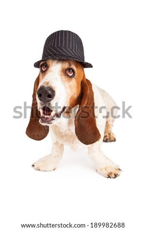 A funny Basset Hound dog wearing a vintage style pinstripe derby hat - stock photo
