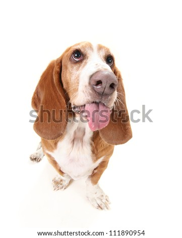 a funny basset hound isolated on white a background with her tongue out, maybe panting - stock photo
