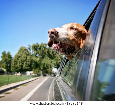 a funny basset hound with her head out of a car window - stock photo