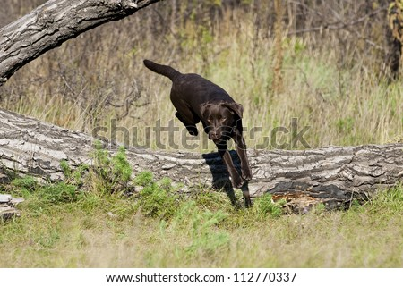 A funny brown labrador female is jumping over a tree