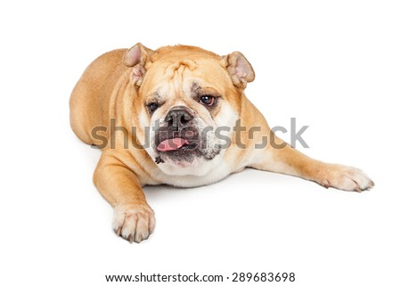 A funny Bulldog breed dog laying and sticking tongue out - stock photo
