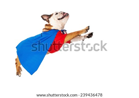 A funny Bulldog dressed as a super hero in a red shirt and blue cape flying through the air - stock photo