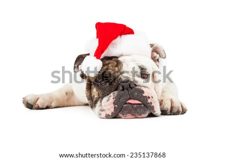 A funny English Bulldog laying down while wearing a Christmas Santa hat - stock photo