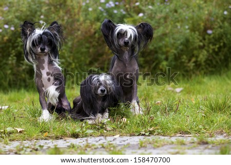A funny littel Group of Chinese Crested Hairless and Powderpuff Dogs - stock photo