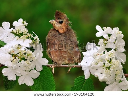 A funny- looking baby bird with a bad haircut and a smiling face. - stock photo