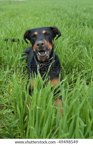 a funny looking doberman lying in the lawn barking