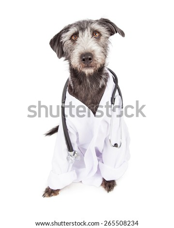 A funny terrier dog dressed as a veterinarian wearing a doctor coat and stethoscope - stock photo