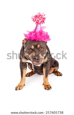 A funny tri-color Pit Bull dog snarling while wearing a pink birthday party hat - stock photo