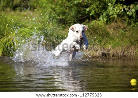 A funny white labrador retriever female is playing in the water on a sunny day