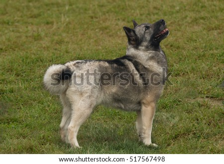 A furry pet Buhund loos expectantly upwards