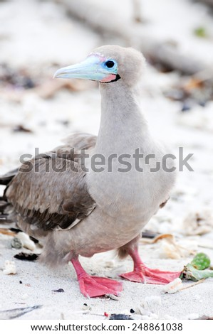 a galapagos island endangered red footed boobies - stock photo