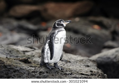 A Galapagos Penguin standing on a rock  (Spheniscus mendiculus) - stock photo