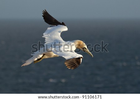 A gannet in the sky - stock photo