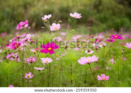 A garden full of pink and purple cosmos flowers, shallow DOF - stock photo