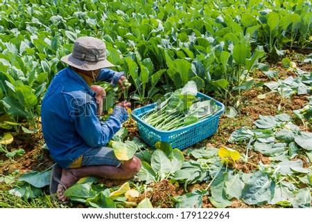 A gardener planting Chinese kale vegetable in garden. - stock photo