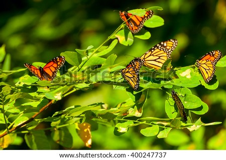 A gathering of monarch butterflies on a sumac branch in Ohio during their annual migration