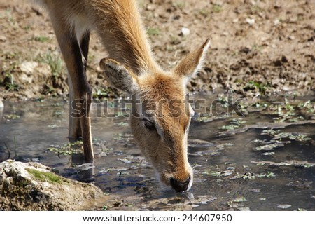 a gazelle impala while drinking from a puddle - stock photo