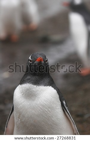 A gentoo penguin - stock photo