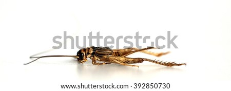 A genuine Field Cricket aka GRYLLUS PENNSYLVANICUS, isolated on white with room for text. Shot with a Close up Macro Lens. - stock photo