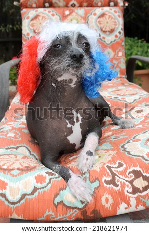 """A genuine Hairless Chinese Crested dog.  Wears a Red, White, and Blue Wig as a fashion statement. Chinese Crested dogs can birth both Hairless and Silky """"covered in fur"""" in the same litter.  - stock photo"""