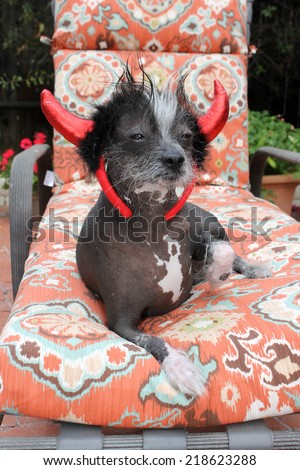 """A genuine Hairless Chinese Crested dog. Wears his Devil Dog Costume for Halloween. Chinese Crested dogs can birth both Hairless and Silky """"covered in fur"""" in the same litter.  - stock photo"""