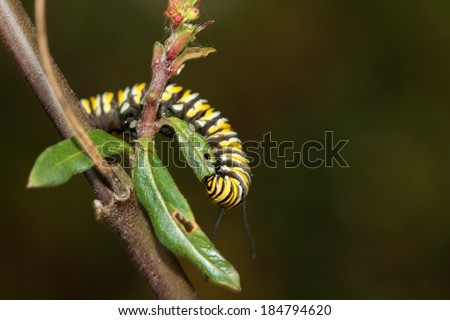 """A Genuine Monarch Butterfly Caterpillar """"Danaus plexippus"""" eats a Milk Weed plant as part of its diet in this form. Soon it will turn from caterpillar to a pupa in a cocoon then into a butterfly.  - stock photo"""