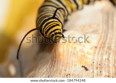 """A Genuine Monarch Butterfly Caterpillar """"Danaus plexippus"""" sits on a sea shell in the sun. Butterflies were once though to be attracted to butter and drink the cream from the top, earning their name. - stock photo"""