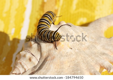 """A Genuine Monarch Butterfly Caterpillar """"Danaus plexippus""""  walks along a clay flower pot looking for something to do on a warm spring day.  - stock photo"""