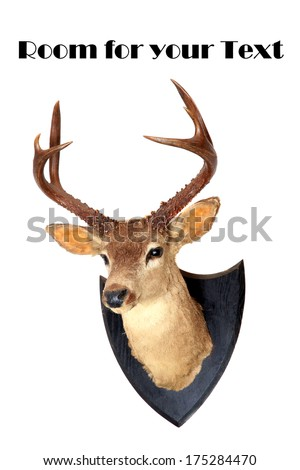 A genuine Stuffed AKA Taxidermy Dear Head with beautiful antlers isolated on white with room for your text. Deer are hunted for Meat and Trophies and are also loved by all including Santa Claus. - stock photo