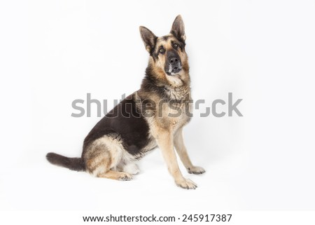 A German Shepherd dog sitting in studio with white background