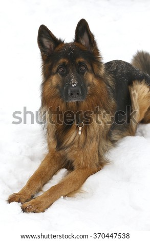 A German Shepherd lying in the snow