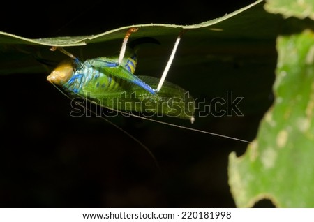A giant and colorful katydid found in the Peruvian  Amazon Rainforest.  - stock photo