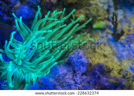 A giant anemone showing its flourescent colors underwater - stock photo