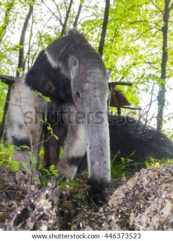A giant anteater (Myrmecophaga tridactyla) is eating ants