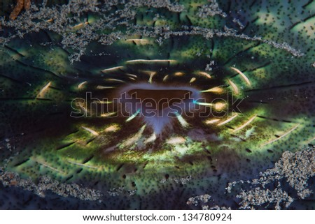 A giant clam (Tridacna derasa) has a mutualistic symbiosis with zooxanthellae, a photosynthesizing dinoflagellate. - stock photo