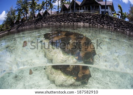 A giant clam (Tridacna gigas) grows in shallow water near a resort in the Republic of Palau. This endangered species is a food source to many Pacific islanders but grows extremely slowly. - stock photo