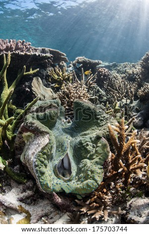 A giant clam (Tridacna gigas) grows on a diverse coral reef in Raja Ampat, Indonesia. This species is the largest bivalve in the world and has a symbiosis with photosynthetic zooxanthellae. - stock photo