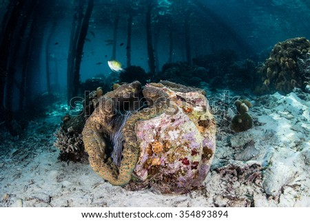 A giant clam (Tridacna gigas) grows on the seafloor near a village jetty in Raja Ampat, Indonesia. This bivalve is an endangered species though it is often eaten by Pacific islanders.