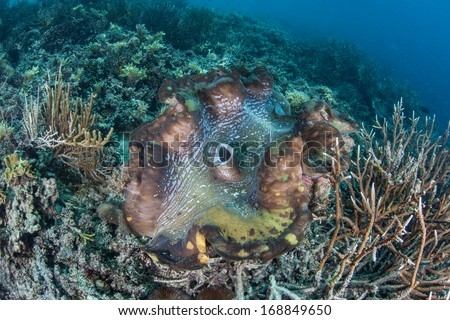 A Giant clam (Tridacna gigas), the largest species of bivalve in the world, grows on a coral reef in Raja Ampat, Indonesia. This clam species has a mutualistic symbiosis with photosynthetic algae. - stock photo