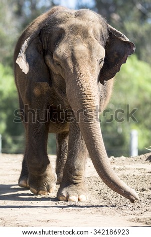 A giant elephant walking on a dirt path towards a watering hole