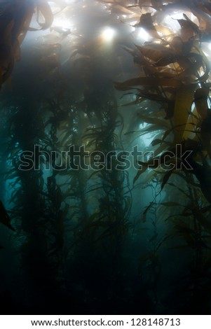 A Giant kelp forest (Macrocystis pyrifera) grows along the coast of northern California, near Monterey Bay.  This area is rich in marine life and is a popular scuba diving area.