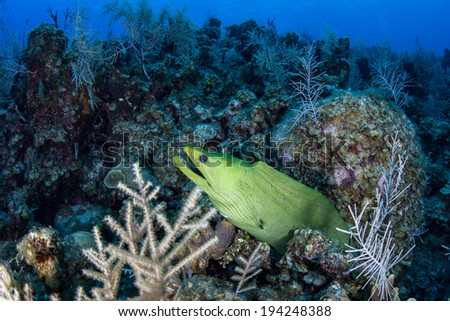 A Giant moray eel (Gymnothorax funebris) pokes its head out of a hole on a diverse Caribbean coral reef. This relatively common predator usually hunts reef fish at night. - stock photo