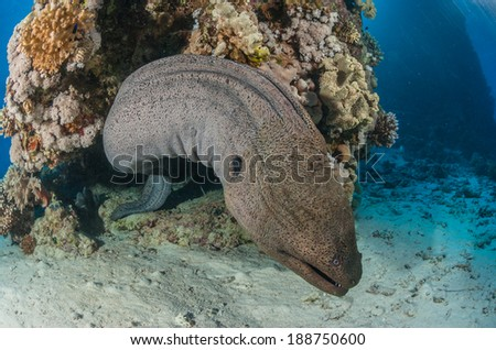 A giant moray eel swimming out of a coral reef - stock photo