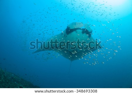 A giant ocean manta ray surrounded by a school of fish at a cleaning station - stock photo