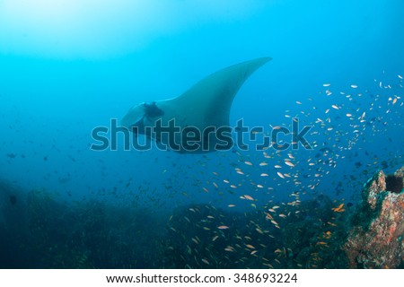 A giant oceanic manta ray drifting over a reef full of brightly colored fish