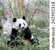 A Giant Panda Bear During Meal Time - stock photo