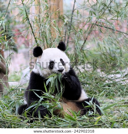 A Giant Panda Bear During Meal Time